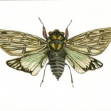 """Cicadidae Sp."""