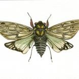 """Cicadidae Sp."""