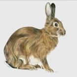 """European Hare"""
