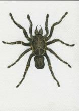 """""""Eurypelma Spinicrus Tarantula"""""""