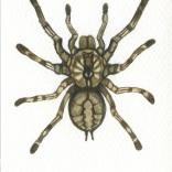"""""""Indian Ornamental Tarantula"""""""