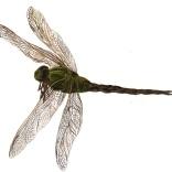 """Chautauqua Dragonfly"""