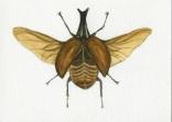 """Siamese Rhinoceros Beetle"""
