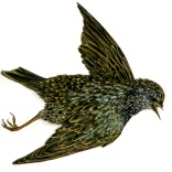 """European Starling"""